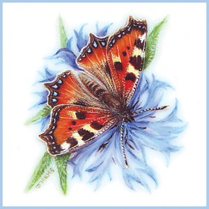 Tortoiseshell on Cornflower